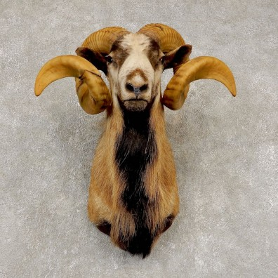 Corsican Ram Shoulder Mount For Sale #21448 @ The Taxidermy Store