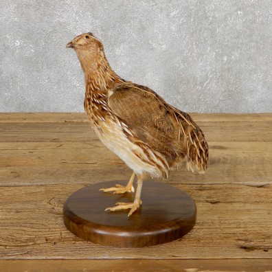 Cortunix Quail Bird Mount For Sale #19803 @ The Taxidermy Store