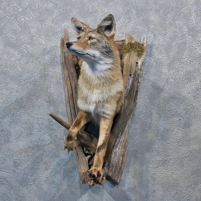 Coyote Half Life Size Taxidermy Shoulder Mount #10881 For Sale @ The Taxidermy Store