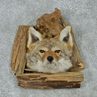 Coyote Head & Wood Taxidermy Mount #12926 For Sale @ The Taxidermy Store