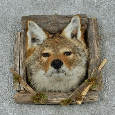 Coyote Head & Wood Taxidermy Mount #12927 For Sale @ The Taxidermy Store