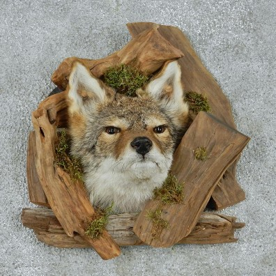 Coyote Head & Wood Taxidermy Mount #12929 For Sale @ The Taxidermy Store