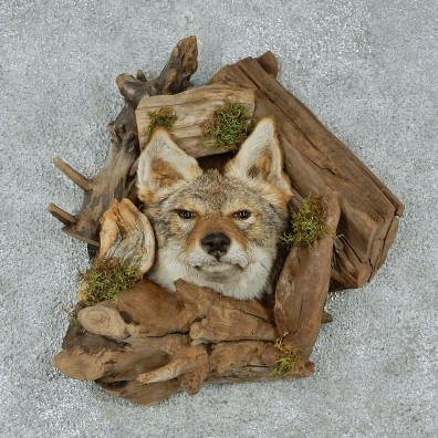 Coyote Head & Wood Taxidermy Mount #12930 For Sale @ The Taxidermy Store