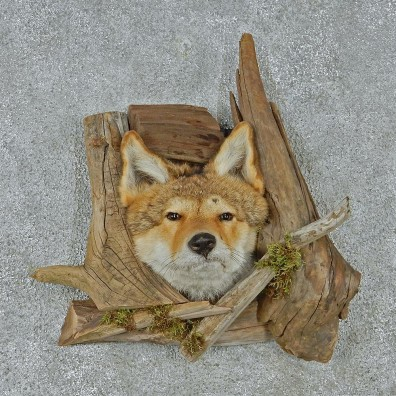 Coyote Head & Wood Taxidermy Mount #12931 For Sale @ The Taxidermy Store