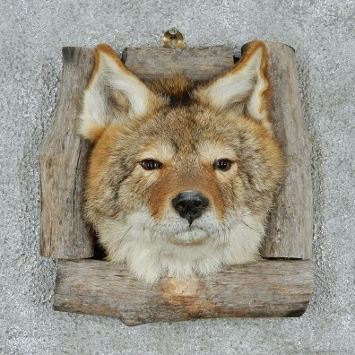 Coyote Head & Wood Taxidermy Mount #12932 For Sale @ The Taxidermy Store