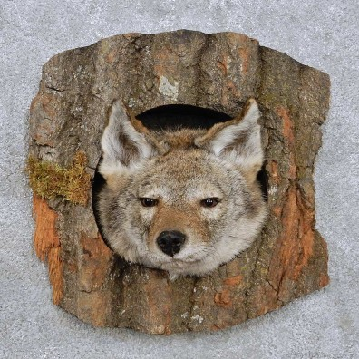 Coyote Head Mount For Sale #14229 @ The Taxidermy Store