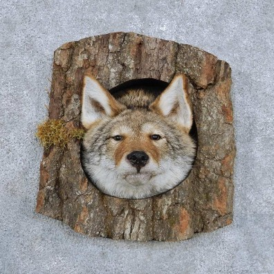Coyote Head In Log Mount For Sale #14349 @ The Taxidermy Store