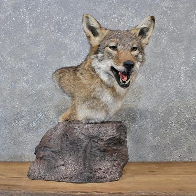 Antlers For Sale >> Coyote Pedestal Mount #10753 - The Taxidermy Store