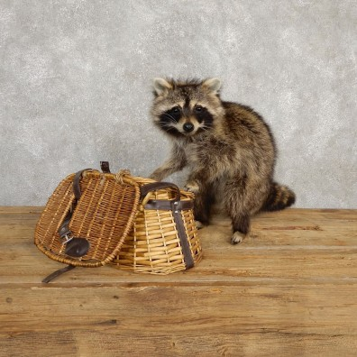 Creel Raccoon Mount For Sale #20232 @ The Taxidermy Store