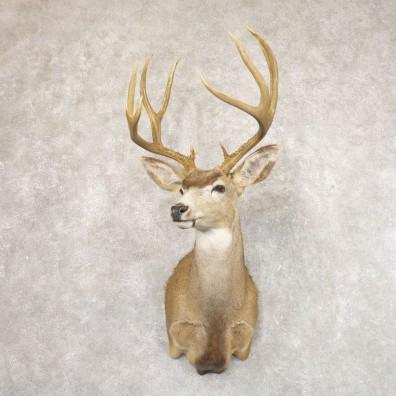 Desert Mule Deer Shoulder Mount For Sale #22180 @ The Taxidermy Store