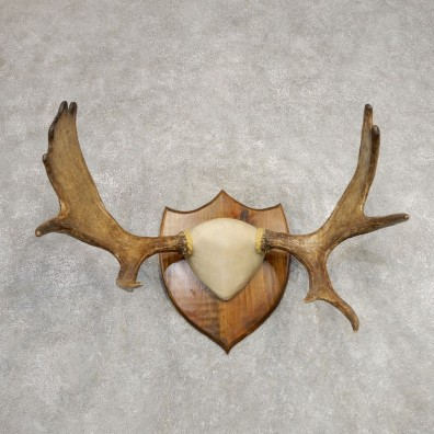 Eastern Canadian Moose Antler Plaque For Sale #21288 @ The Taxidermy Store