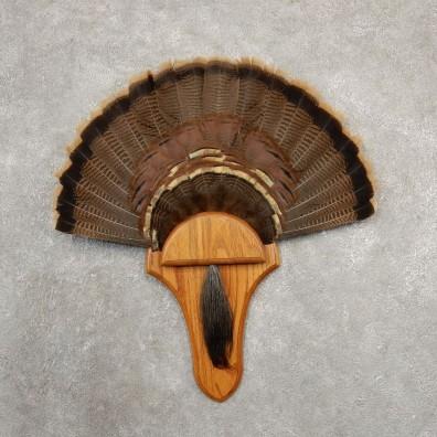 Eastern Wild Turkey Fan For Sale #20683 @ The Taxidermy Store