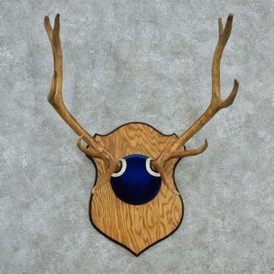 Elk Blue Suede Taxidermy Mount #13004 For Sale @ The Taxidermy Store