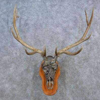 Elk Skull Antler European Mount For Sale #15587 @ The Taxidermy Store