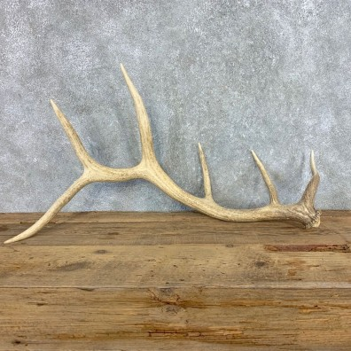 Elk Antler Shed For Sale #21520 @ The Taxidermy Store