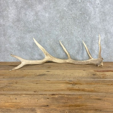 Elk Antler Shed For Sale #21521 @ The Taxidermy Store