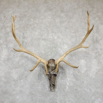 Elk Lost Camo Skull Antler European Mount For Sale #19402 @ The Taxidermy Store