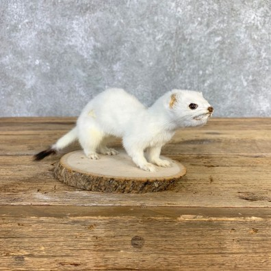 Ermine Life-Size Mount For Sale #21845 @ The Taxidermy Store