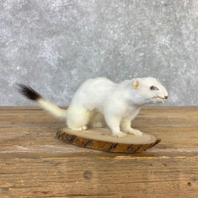 Ermine Life-Size Mount For Sale #21846 @ The Taxidermy Store