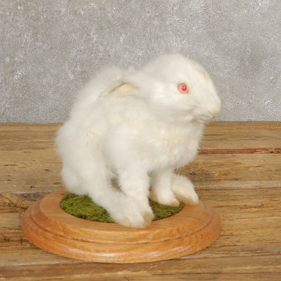 European Bunny Life-Size Taxidermy Mount For Sale #21030 @ The Taxidermy Store