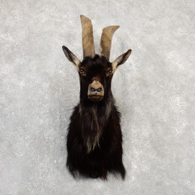 Feral Goat Shoulder Mount For Sale #20017 @ The Taxidermy Store
