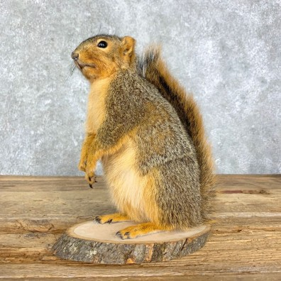 Fox Squirrel Mount For Sale #21679 @ The Taxidermy Store
