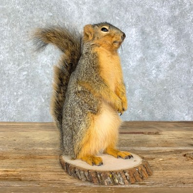 Fox Squirrel Mount For Sale #21680 @ The Taxidermy Store