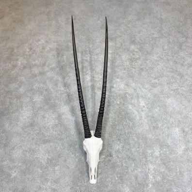 Gemsbok Skull Horns European Mount #21971 For Sale @ The Taxidermy Store
