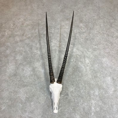 Gemsbok Skull Horns European Mount #21972 For Sale @ The Taxidermy Store