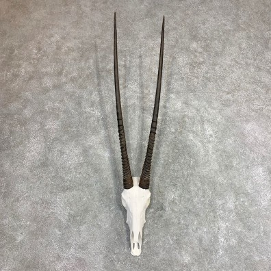 Gemsbok Skull Horns European Mount #21973 For Sale @ The Taxidermy Store