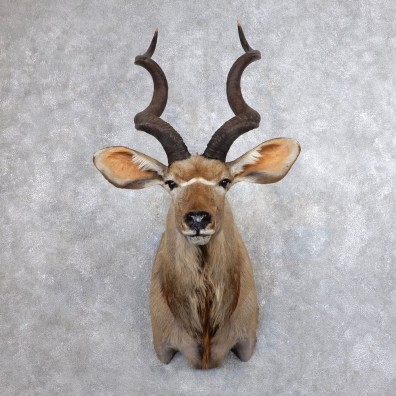 Greater Kudu Shoulder Mount For Sale #18644 @ The Taxidermy Store