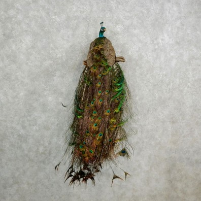 Indian Peacock Bird Mount For Sale #17018 @ The Taxidermy Store