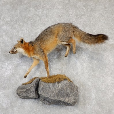Grey Fox Life-Size Mount For Sale #19099 @ The Taxidermy Store