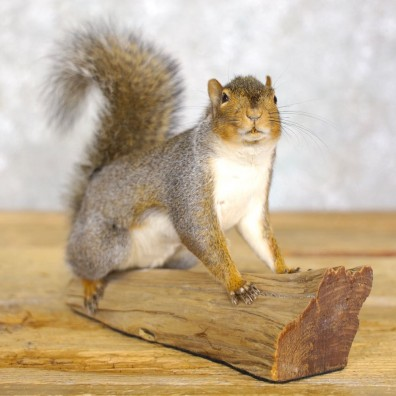 Grey Squirrel Life-Size Mount For Sale #22220 @ The Taxidermy Store