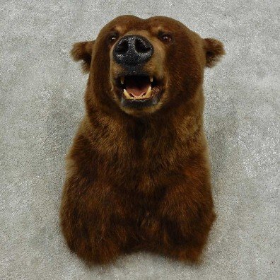 Grizzly Bear Shoulder Mount For Sale #16869 @ The Taxidermy Store