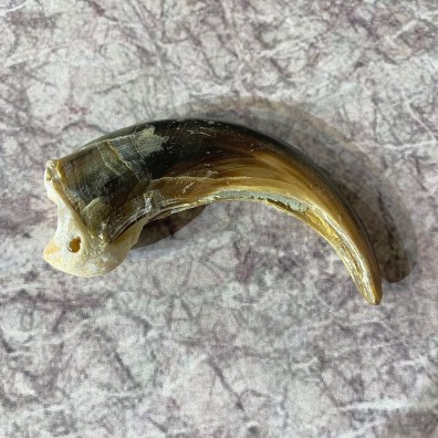Grizzly Bear Claw For Sale #21873 - The Taxidermy Store