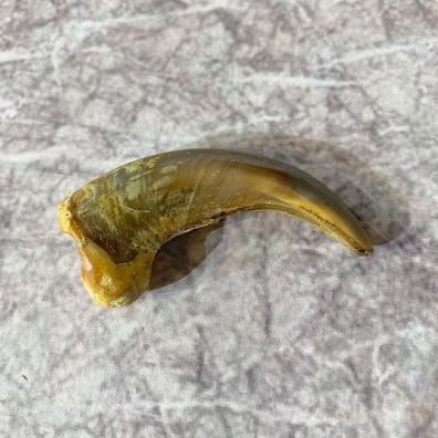 Grizzly Bear Claw For Sale #21908 @ The Taxidermy Store