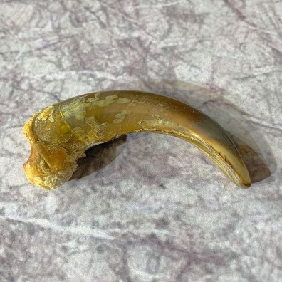 Grizzly Bear Claw For Sale #21913 @ The Taxidermy Store