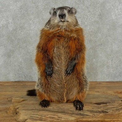 Groundhog Life-Size Mount For Sale #16842 @ The Taxidermy Store