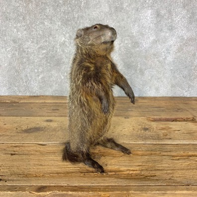 Groundhog Life-Size Mount For Sale #22325 @ The Taxidermy Store