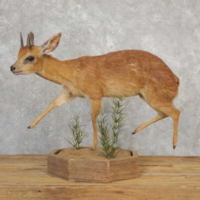 Grysbok Antelope Life Size Taxidermy Mount For Sale #21117 For Sale @ The Taxidermy Store