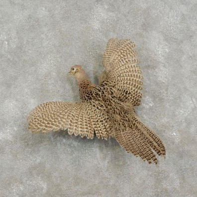 Hen Pheasant Bird Mount For Sale #17473 @ The Taxidermy Store