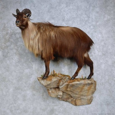 Himalayan Tahr Life Size Mount For Sale #14605 @ The Taxidermy Store