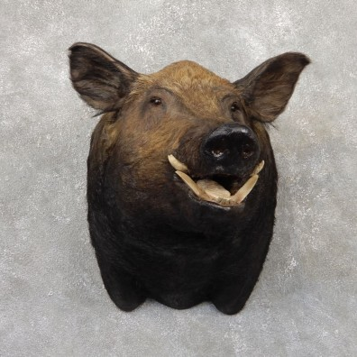 Hogzilla Wild Boar Taxidermy Shoulder Mount #18869 For Sale @ The Taxidermy Store
