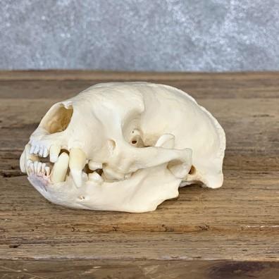 Honey Badger Full Skull Mount For Sale #22062 @ The Taxidermy Store
