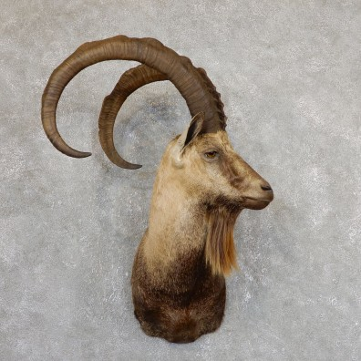 Hybrid Ibex Shoulder Mount For Sale #19631 - The Taxidermy Store