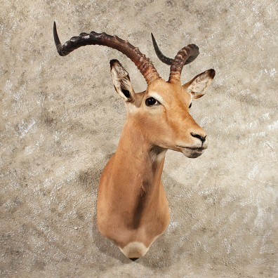 African Impala Shoulder Mount #11421 - For Sale - The Taxidermy Store
