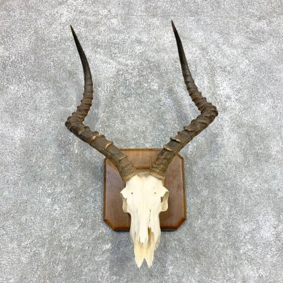 Impala Skull & Horn European Mount For Sale #22140 @ The Taxidermy Store