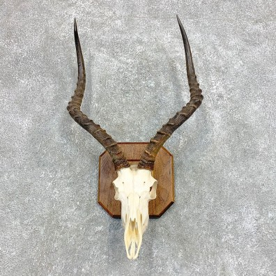 Impala Skull & Horn European Mount For Sale #22141 @ The Taxidermy Store
