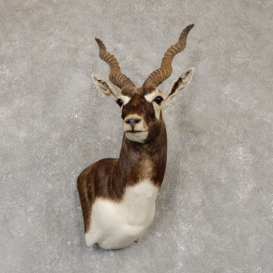 India Blackbuck Shoulder Mount For Sale #20106 @ The Taxidermy Store